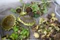 ベランダで乾燥中の「向日葵」の実。(27.9.6)
