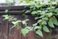 塀を越して伸びる「食用ホオズキ」