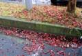 雨に濡れる、舞い落ちた「トウカエデ(唐楓)」の紅葉。(27.9.9)