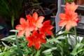 日が差して、目に染みる「バロータ」の花。(27.9.9)