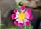 舌状の花びらが筒状花に変化。(27.10.19)
