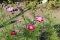 裏の道路わき花壇で咲き始めた「コスモス・シーシェル」(27.10.19)