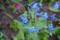 秋に咲いた「シノグロッサム」。(27.10.20)