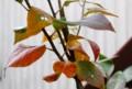茶褐色に色づいた「賢治のやまなし」の葉。(27.10.23)