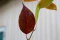 色づいた「賢治のやまなし」の葉。(27.10.23)