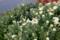 賢治ガーデンの、白い「野菊」。(27.10.24)