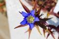 コップと見立てた、リンドウ(竜胆)の花、黄色の底。(27.10.24)