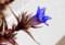横から観た「リンドウ(竜胆)」の花。(27.10.24)