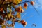 青空に映える、「柿の実」。(27.10.28)(15:57)