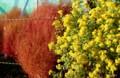 「アワコガネギク」の黄色と、「ホウキグサ」の赤色とのコントラスト