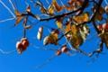 「柿採り日和」(27.11.1)