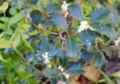 ひっそりと「ヒイラギ(柊)」の花。(27.11.3)