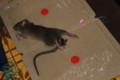 ネズミ捕りにかかった「ネズミ(鼠)」(27.11.17)