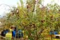 収穫最盛期の「立科りんご」。(27.11.19)