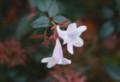 「アベリア・ハナゾノツクバネウツギ」の花。(27.11.20)