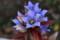 咲き続ける「リンドウ(竜胆)」(大型プランター)(27.11.20)
