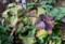 ,紫色に色づいた「ルナリア・合田草」の実。(27.11.21)