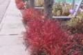 茎の赤色が、辺りを彩る「マツバボタン(松葉牡丹)」。(27.11.22)