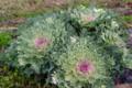 畑で育っている「ハボタン(葉牡丹)」の大蕪。(27.11.23)