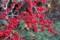 野鳥の餌になる「ウメモドキ(梅擬)」の赤い実。(27.12.7)