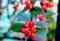 「コトネアスター・車輪桃」は、クリスマスカラー。(27.12.7)