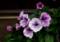 軒下で咲く、「ペチュニア」の花。(27.12.13)