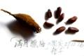 我が家の「素心ロウバイ」の果実・種子。(27.12.26)