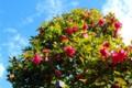 甲斐路は、「山茶花」の花が真っ盛り。(27.12.27)