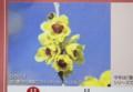 「香りで季節を告げる花」シリーズ、「ロウバイ」。(27.12.28)