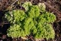 暖冬で生き生き、「ワサビ菜」。(28.1.5)