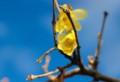 「ひろば」で咲き始めた「素心ロウバイ(蠟・蝋梅)」の花。(28.1.8)