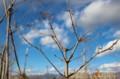 新年を祝って植えた「メグスリノキ(目薬の木)」。(28.1.8)
