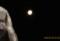 昨夜・「臘月十六日」の残月。(28.1.26)(5:20)