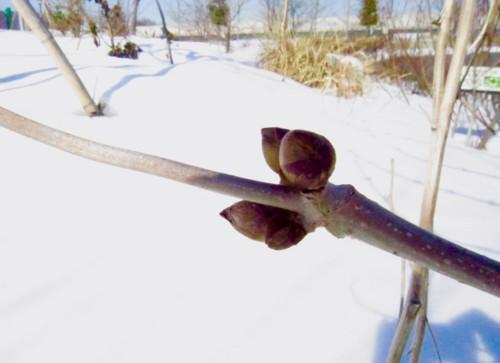 雪の原で春を待つ、「ニワトコ(接骨木・庭常)」の冬芽。(28.1.28)