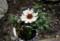 「落ちない花」、我が家の「マーガレット・風恋香」(28.1.28)