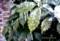 玄関脇の「アオキ(青木)」の葉に、小さな氷柱が…。(28.1.30)