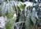 今朝も「アオキ(青木)」の葉に氷柱が。(28.1.31)