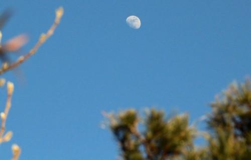 木の間に、「正月十一日」の月。(28.2.18)(16:04)