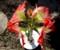 十文字に並んだ「アマリリス」の花。(28.2.19)
