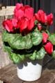 元気に咲き続ける「シクラメン」の鉢花。(28.2.23)