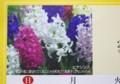 香りの花、3月は「ヒヤシンス」。(28.3.1)