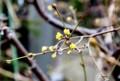 冬芽がほころび始めた「サンシュユ(山茱萸)」。(28.3.9)