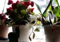 「セロジネ」の花も咲いて。(28.3.10)