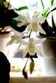 清楚な花・「セロジネ」。(28.3.10)
