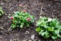 花が見え始めた「デージー・ヒナギク(雛菊)」(28.3.11)
