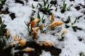 春花壇の「クロッカス」にも積雪が…。(28.3.12)