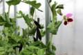 ハウス内で、花や実を着けている「ツタンカーメンのエンドウ」。(28.3.