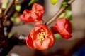 「更紗木瓜」・朱赤色の花。(28.3.13)