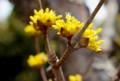 「サンシュユ(山茱萸)」、開き始めた「小花」。(28.3.18)