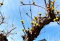 山茱萸は、「春黄金花」の名も…。(28.3.18)